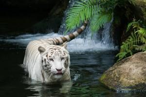 """Символ 2010 года -""""металлический"""" Тигр"""
