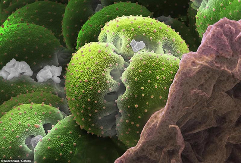 Пыльца венерины мухоловки. (MICRONAUT / CATERS NEWS)