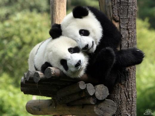 Панды - самцы и самки не живут вместе