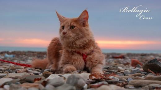 Легенды происхождения породы кошек Мейн кун