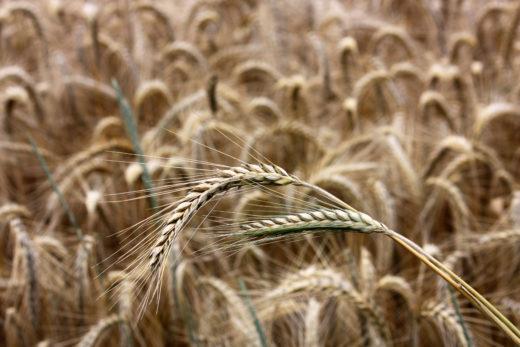 Как формируется цена на зерно и крупы?