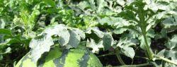 Посадка арбузов на рассаду