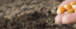 Как выбрать посевной материал кукурузы