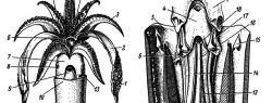 В Перу был найден кальмар возрастом 85 миллионов лет