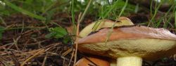 Известные виды съедобных грибов в США