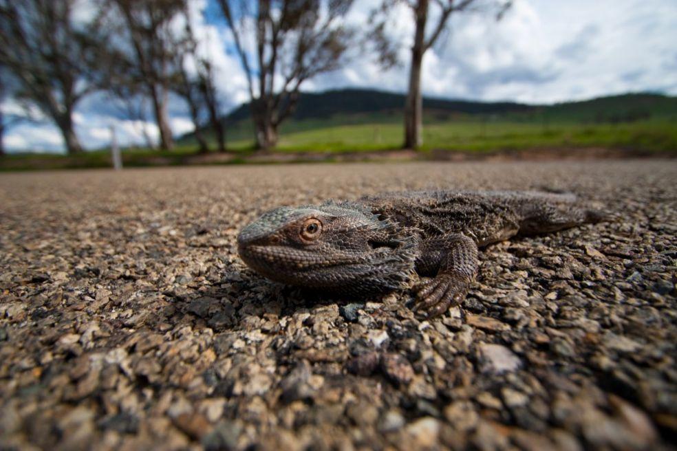 Бородатый дракон переходит дорогу в Австралии
