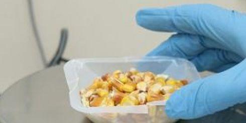 Минздрав предлагает исследовать рис на содержание ГМО