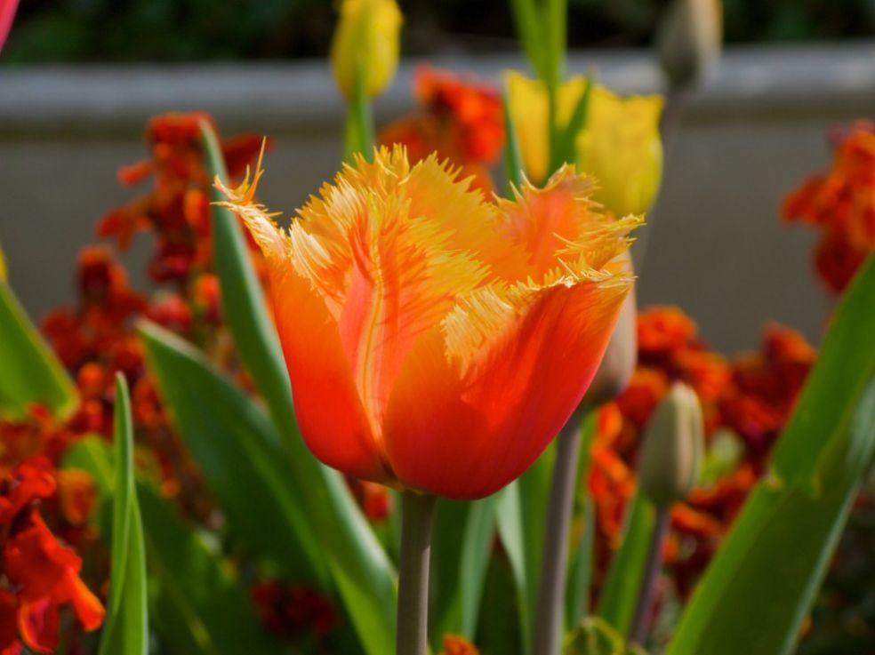 Тюльпаны - колыбель для фей