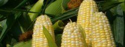 Французские ученые настаивают на смертельном вреде ГМО